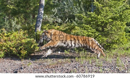 Profile view of Siberian tiger (Panthera tigris altaica) stalks prey in the forest.