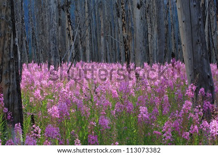 Profusion of bright pink Fireweed wildflowers in a burnt forest, Canadian Rocky Mountains - stock photo