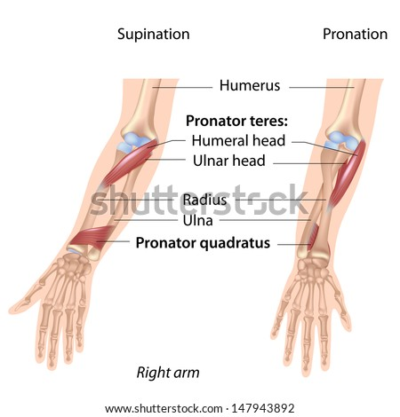 Pronators muscles of forearm, labeled  - stock photo
