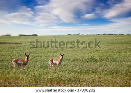 Prong Horned antelope in a field in rural Saskatchean. - stock photo