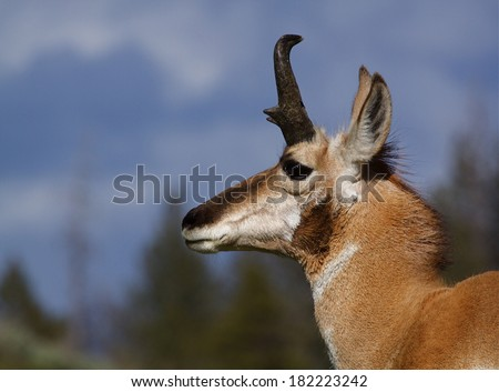 Pronghorn Antelope, antilocapra americana, highly detailed close up portrait with blue sky and evergreen trees in the background, at Yellowstone National Park - stock photo