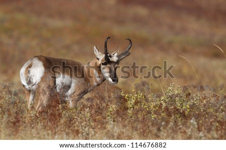 Pronghorn Antelope in an autumn prairie environment; big game hunting montana - stock photo