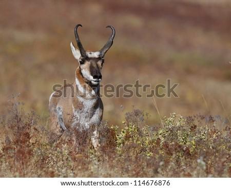 Pronghorn Antelope in autumn prairie environment; big game hunting montana - stock photo