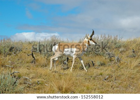 Pronghorn Antelope on the Grasslands, Rocky Mountains, USA - stock photo