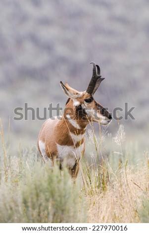 Pronghorn in the rain, Lamar Valley, Yellowstone National Park, USA - stock photo