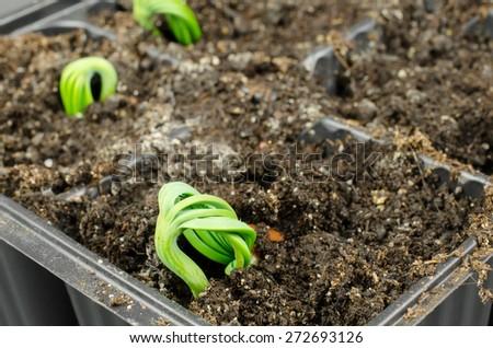 propagation of pines (pinus pinea) - stock photo