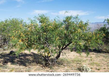 Prosopis velutina, commonly known as velvet mesquite, is a small to medium sized perennial tree. Saguaro National Park, Arizona - stock photo