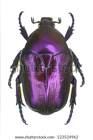 Protaetia (Eupotosia) mirifica, an endangered and protected beetle living in old forests of Europe and Near East