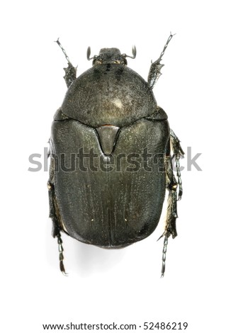 Protaetia (Netocia) afflicta ab. libani - stock photo