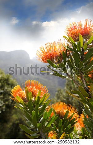Proteas at the foot of Tafelberg. - stock photo