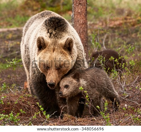 Protective and affectionate mother bear with her little cub in the finnish taiga - stock photo