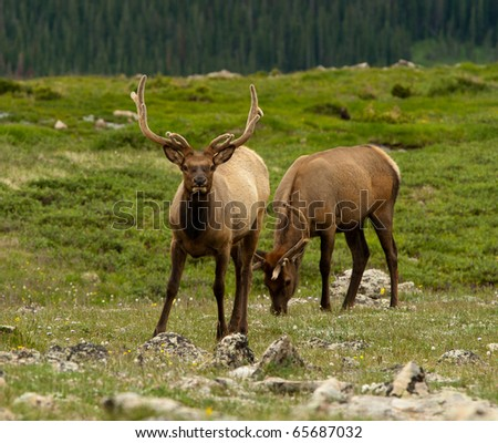 Protective Bull Elk - stock photo