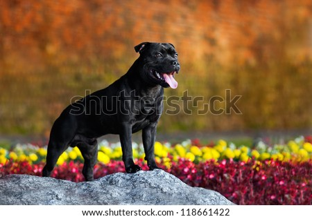 proud dog Stafford Terrier stands against the colors - stock photo