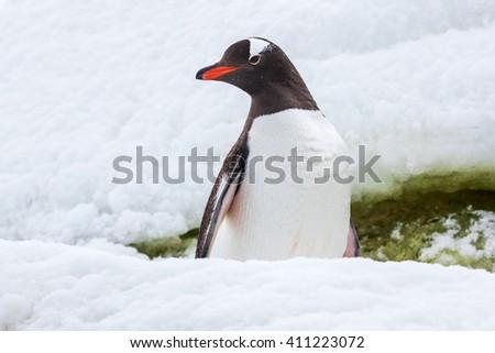 Proud gentoo penguin on the snow in Antarctica - stock photo