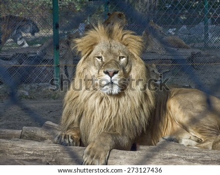 Proud lion in a Zoo  - stock photo