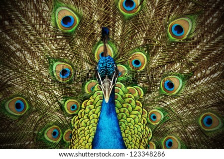 Proud Peacock - stock photo