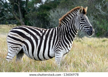 Proud striped zebra in the long African grass