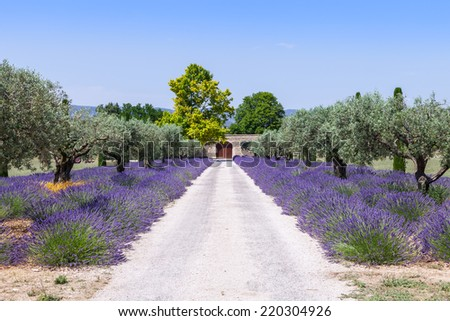 Provence, France. Lavander field during summer season. - stock photo