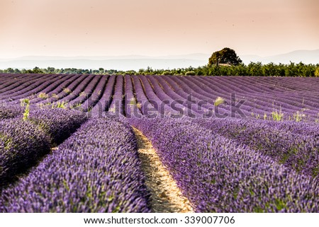 Provence, France, Lavender field in bloom, Valensole Plateau