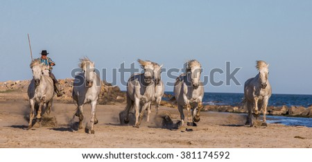 PROVENCE, FRANCE - 09 MAY, 2015: White Camargue Horses galloping on the sand in Parc Regional de Camargue - Provence, France