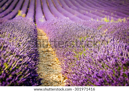 Provence, purple flowers in a lavender field in bloom, Valensole Plateau, France.