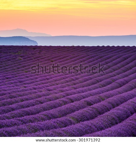 Provence, purple flowers in a lavender field in bloom, Valensole Plateau, France. Sunset