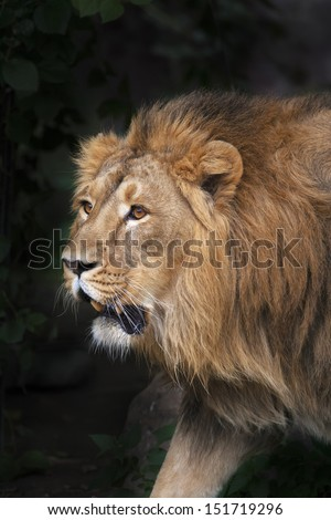 Prowling Asian lion is coming out of the forest. The sunlit head under splendid and shaggy mane of the King of beasts. The biggest and most dangerous cat of the world. - stock photo