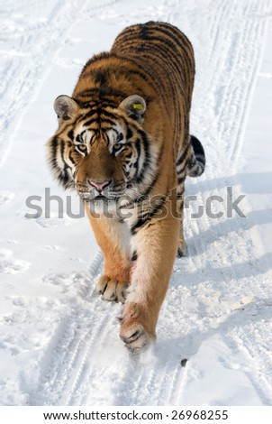 Prowling siberian tiger in the snow. - stock photo