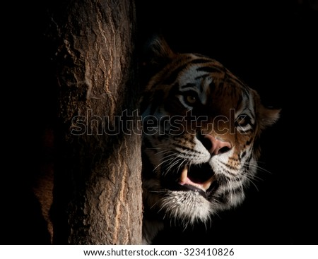 Prowling Tiger - stock photo