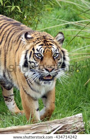 Prowling TIGER portrait. Sumatran Tiger, Panthera tigris sumatrae, exits undergrowth, seemingly stalking prey. - stock photo