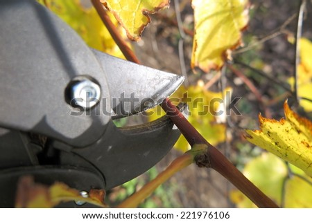Pruning a vine with a garden secateur in the autumn garden - stock photo
