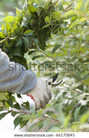 Pruning bush with shears in garden