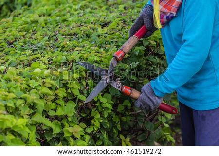 pruning branch pine tree cutting shears stock photo