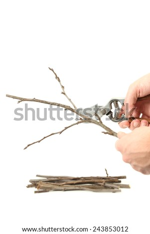 Pruning , Example of pruning with secateurs on white - stock photo