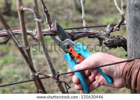 Pruning grape in a vineyard - stock photo