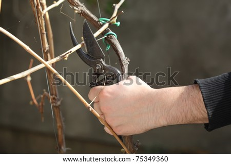 Pruning grape in a vineyard selective focus on hand - stock photo
