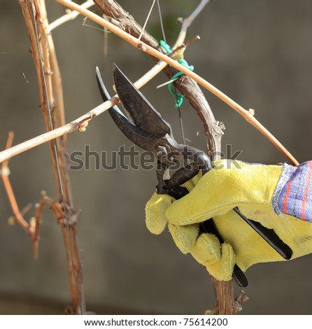 Pruning grape in a vineyard selective focus on hand in gloves - stock photo