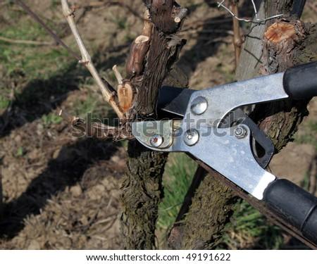 Pruning in a wineyard 3. - stock photo