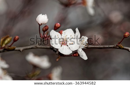 Prunus cerasifera or common names cherry plum and myrobalan plum branch with flowers and leaves in spring. - stock photo