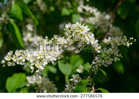 Prunus padus (European Bird Cherry) in bloom at spring garden. Selective focus with shallow depth of field. - stock photo