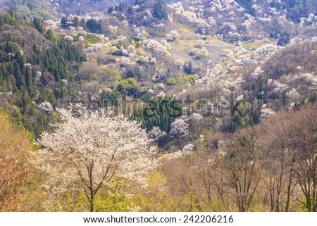 Prunus sargentii, Rikugou-Ousenkyo, Nagano, Japan - stock photo