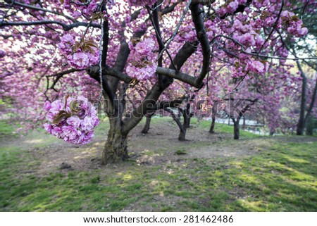 Prunus serrulata or Japanese Cherry; also called Hill Cherry, Oriental Cherry - stock photo