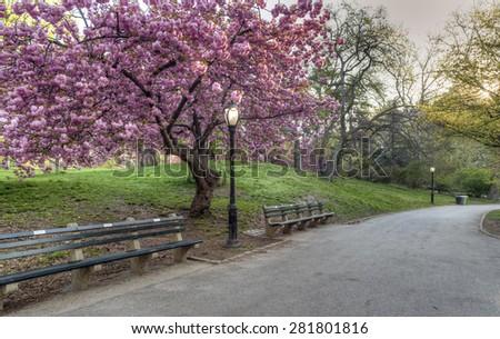 Prunus serrulata or Japanese Cherry; also called Hill Cherry, Oriental Cherry  - stock photo