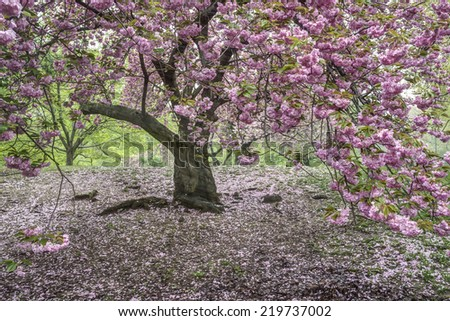 Prunus serrulata or Japanese Cherry; also called Hill Cherry, Oriental Cherry or East Asian Cherry - stock photo