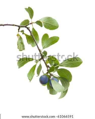Prunus spinosa (blackthorn; sloe) small branch with berries isolated on white background - stock photo