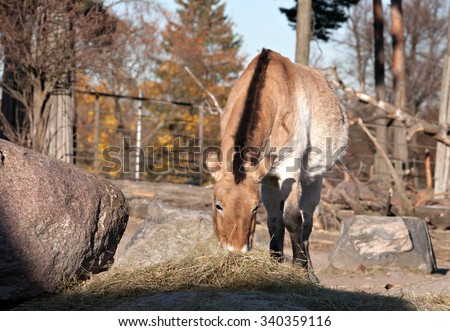 Przewalski horse eating hey in the zoo outdoor volary - stock photo