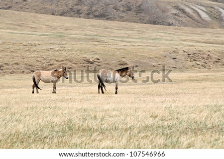 Przewalski horse in a pasture in the Mongolian steppe - stock photo