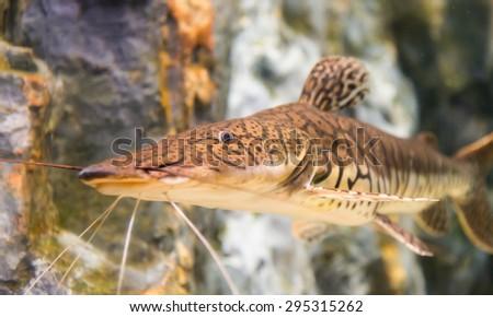 pseudoplatystoma, fasciatu, tiger shovelnose catfish in Thailand - stock photo
