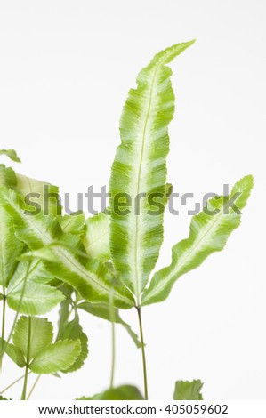 Pteris cretica albolineata stock photo royalty free 405059602 pteris cretica albolineata ccuart Image collections