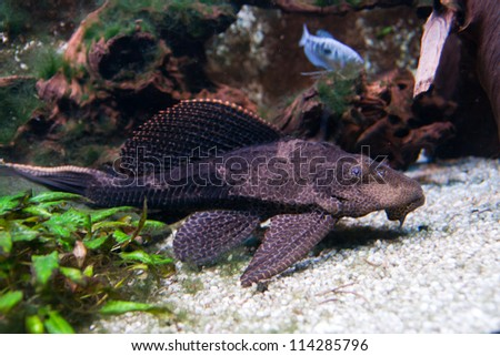 Pterygoplichthys pardalis, the tropical fish known as a Plecostomus belonging to the Armored Catfish family (Loricariidae) - stock photo